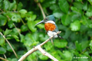 Amazon kingfisher-2
