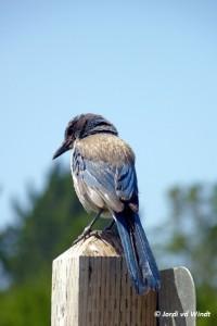 Western-scrub Jay