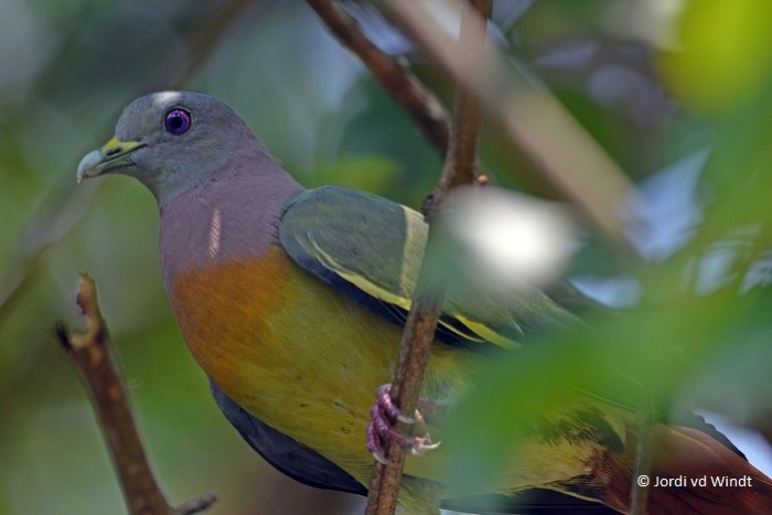Pink-necked Green Pigeon2