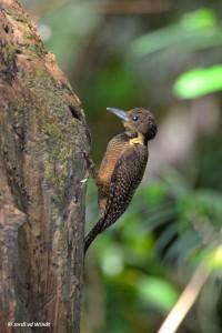 Buff-necked Woodpecker