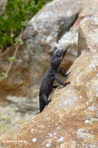 Black girdled lizard