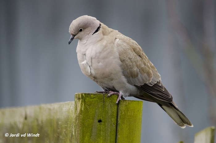 Pigeon – Jordi travelling