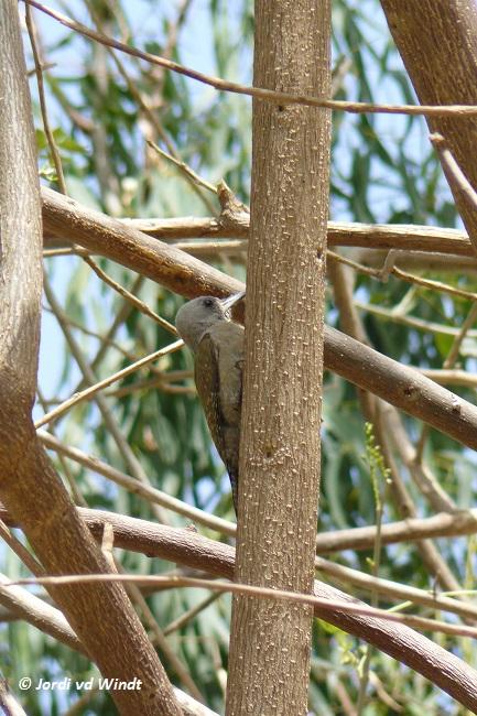 Grey woodpecker