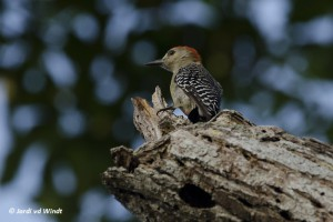 Red-crowned woodpecker-2