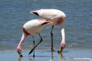 Puna flamingo