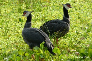 Northern screamer