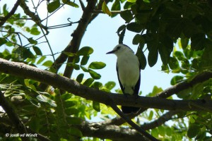 Pied water tyrant