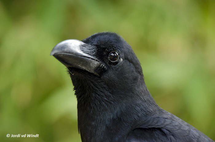 Southern jungle crow