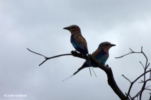 Liliac-breasted roller