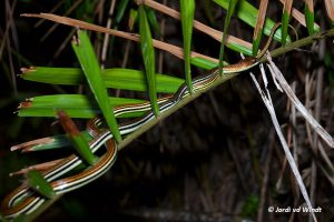 Striped bronzeback snake