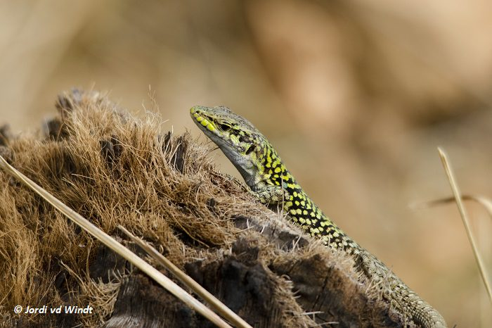 Sicilian wall lizard