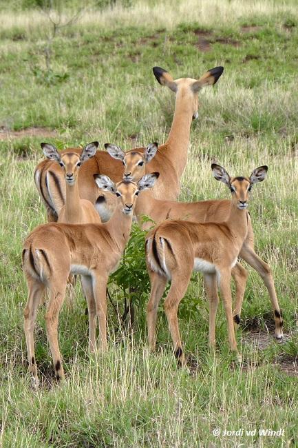 Impala family