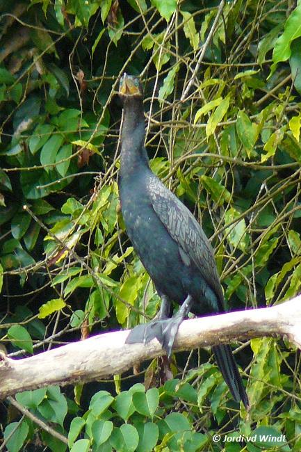 Neotropical cormorant