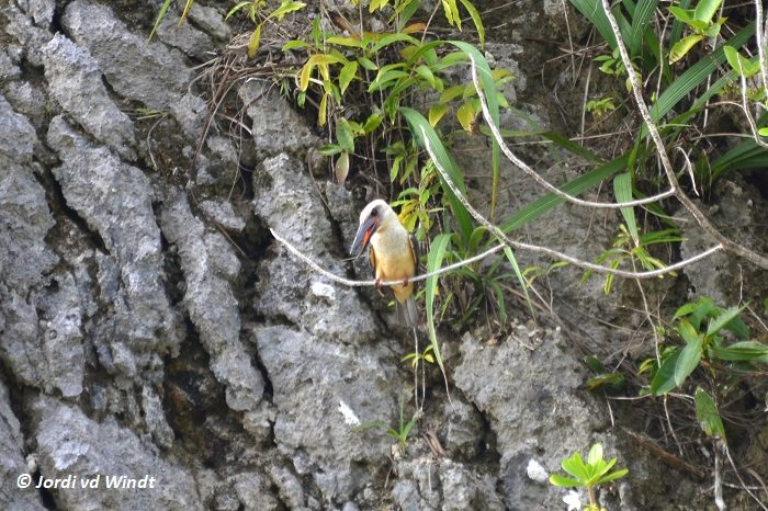 Black-billed kingfisher