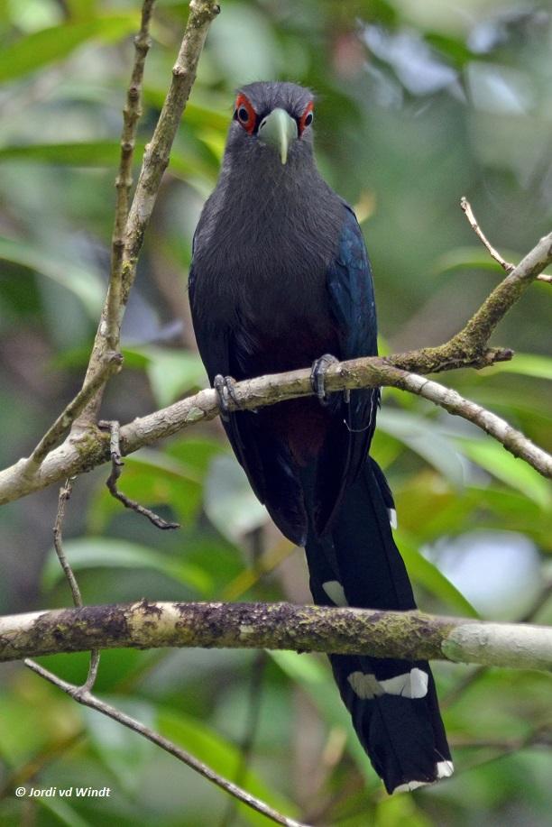 Black-bellied Malkoha