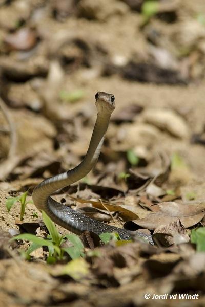 Oriental rat snake
