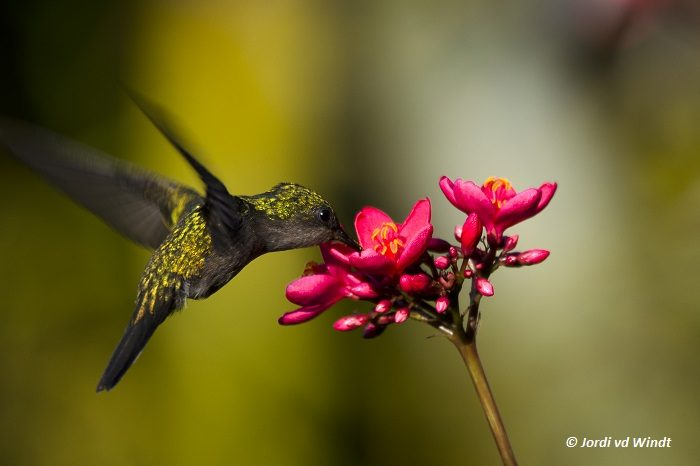 Lesser antillean crested hummingbird